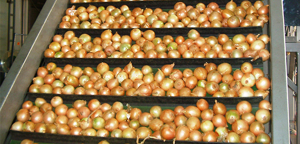 Onions on Conveyor