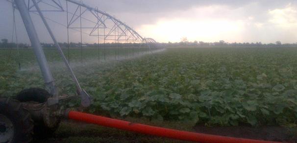 Pumpkin Crops